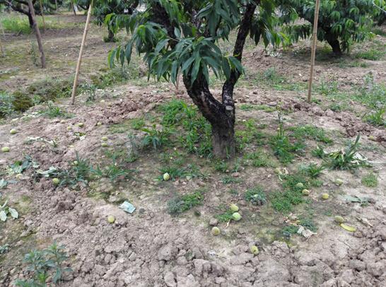 老农王种的阳山水蜜桃,回味无穷